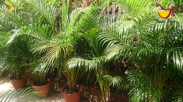 Areca Palm Air Purifying Plants Image