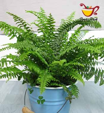 Air Purifying Boston Fern Image