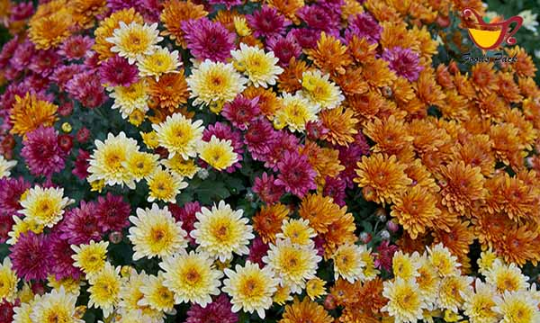 Chrysanthemums Air Purifying Plant Image
