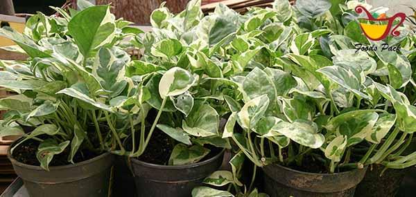 Devil's Ivy Plant Image
