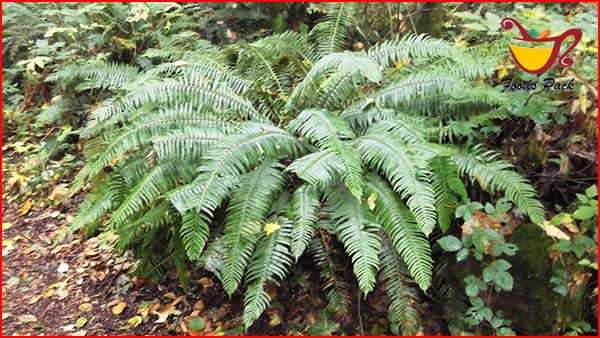Kimberly Queen Ferns Air Purification Plants Image