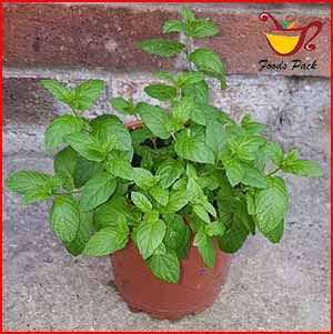 Image of Mint Plant for Air Purification