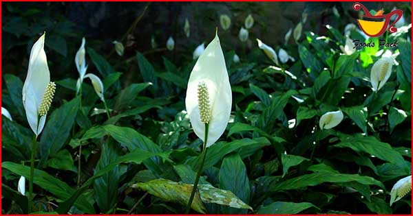 Peace Lily Air Purifying Plants Image