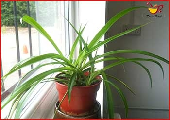 Air Purifying Spider Plant Image